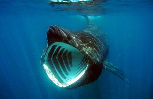 Basking Shark VWFS