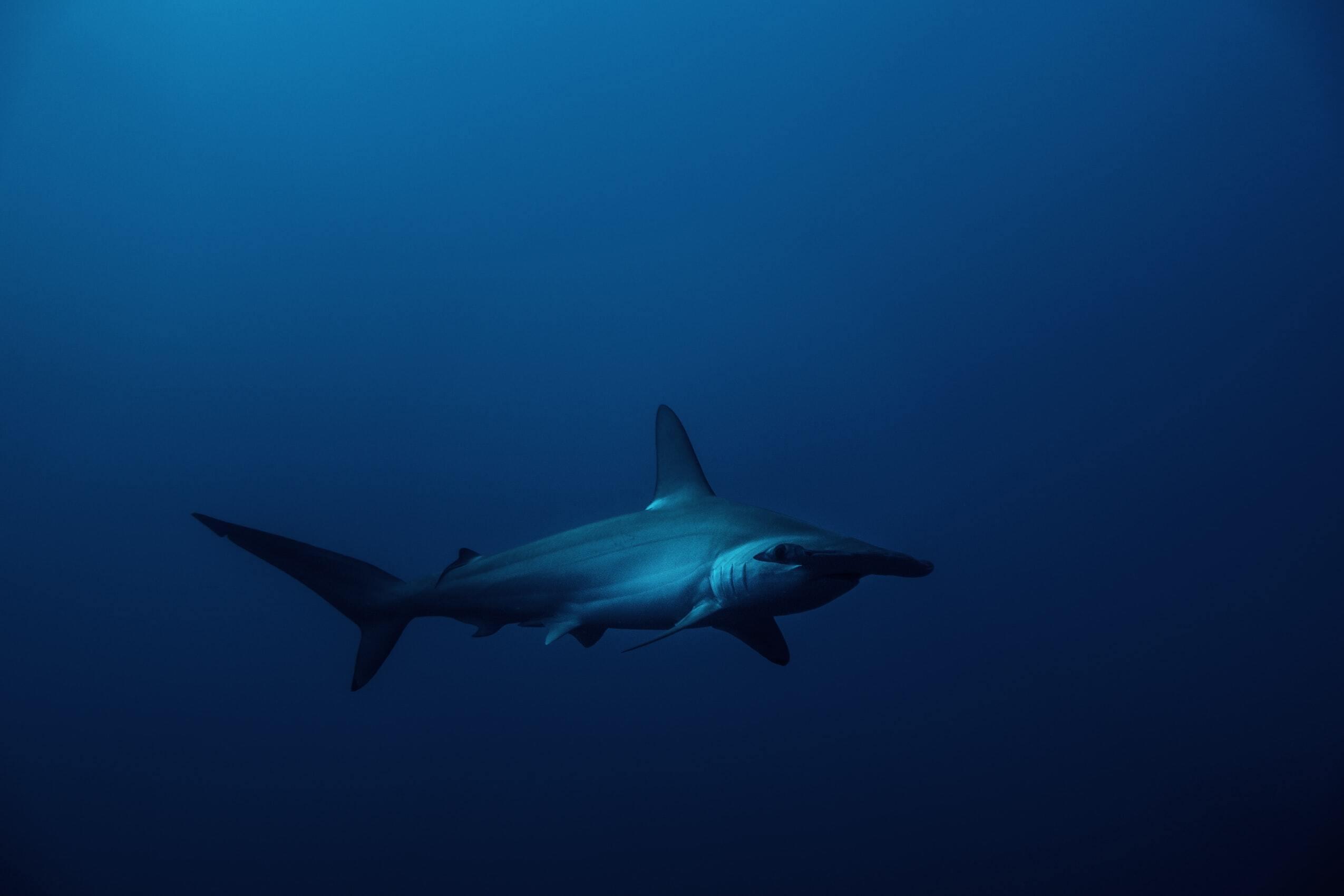 Hammerhead sharks VWFS