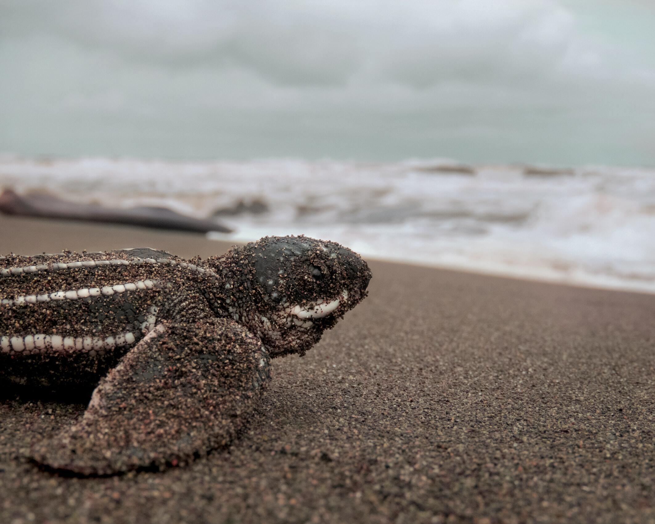 Leatherback Turtles VWFS
