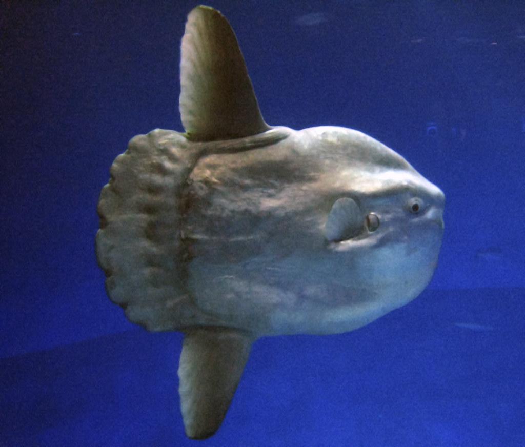 Ocean Sunfish VWFS