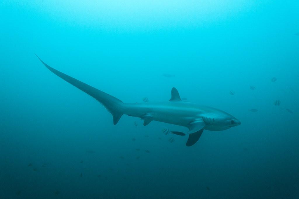Thresher Sharks VWFS